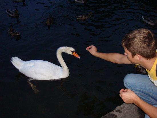 кормление лебедя