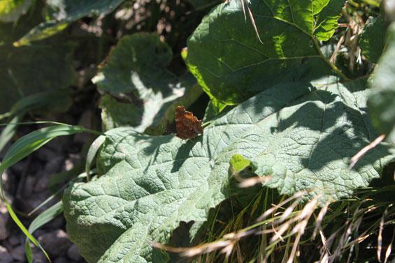 горная бабочка
