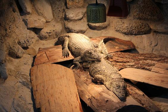 парочка крокодилов