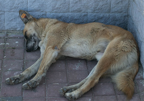 уличная собака с биркой в ухе