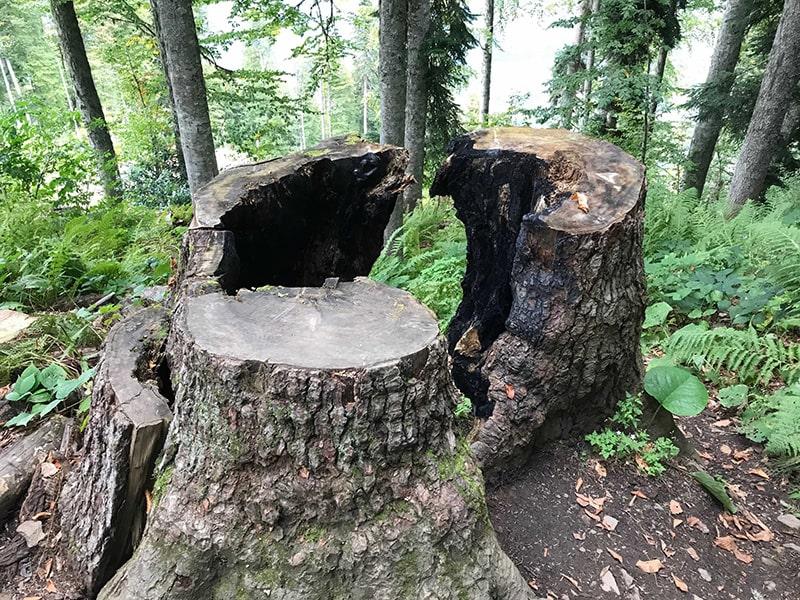 сгоревший пень в лесу